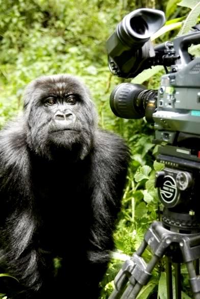 Canal 22_Naturaleza_Titus el gorila rey