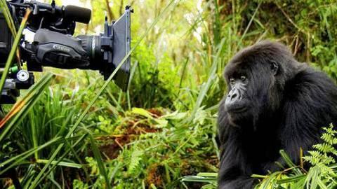 Canal 22_Naturaleza_Titus el gorila rey_2
