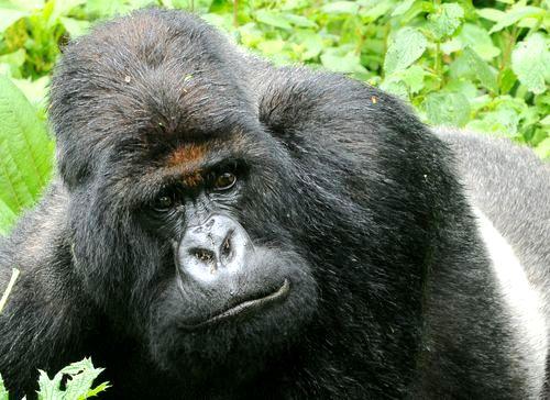 Canal 22_Naturaleza_Titus el gorila rey_3