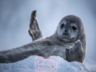 Picture Shows: Weddell seal pups are born from the womb, at 37C, straight onto the sea ice. This is the sharpest drop in temperature any animal will ever face. They feed on extremely rich milk and double their weight in the first two weeks of their life. These early days are a vulnerable time, as they cannot swim until they are ten days old. Only then can they escape the brutal storms by sheltering in the water.