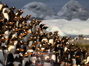 Picture Shows: Gentoo penguins bunch up on their journey from their colony down to the sea. They are hungry, but are nervous of the dangers that lurk in the water.
