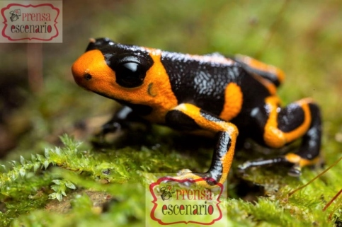 Picture Shows: A male mimic poison dart frog, no bigger than a human thumbnail, searches for his tadpoles in the Amazon rainforest of Peru. He has left each of his six young in its own individual pocket of rainwater, but to check on and feed them he needs to remember where he left each one.