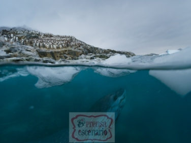 Picture Shows: Screen grab. A leopard seal stalks the shallows looking for gentoo penguins heading out to sea to feed.