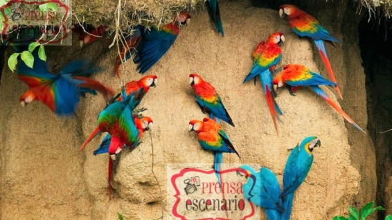 Picture Shows: Screen grab. Three species of macaws jostle for space on a clay-lick in Peru. Parts of the Amazon basin are so deficient in minerals that many animals seek to supplement their diet with salty clay.