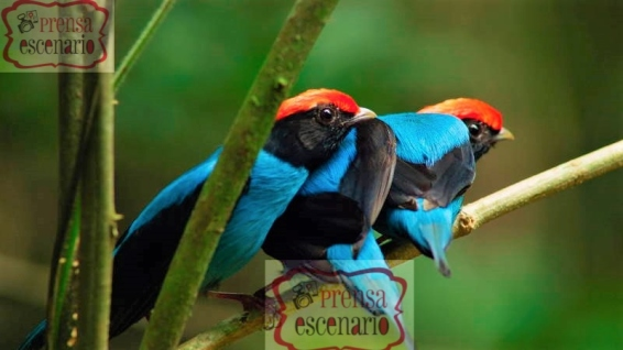 Picture Shows: Screen grab. A group of male blue manakins huddle together on a branch in southern Brazil. They form part of a 'dance troupe' in support a dominant male. The group's elaborate display aims to impress female manakins.