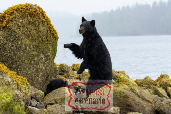 Picture Shows: A mother black bear stands tall to keep watch as her cub feeds amongst the rocks beneath her feet on the coast of British Colombia, Canada. Steady rain makes it hard to see and smell potential threats, such as male black bears that could kill her cub.