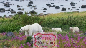 Picture Shows: Screen grab. A female polar bear leads her two cubs through a patch of colourful fire-weed. During summer, with no sea-ice to hunt on, polar bears in this area are restricted to the shores of Hudson Bay, Canada.